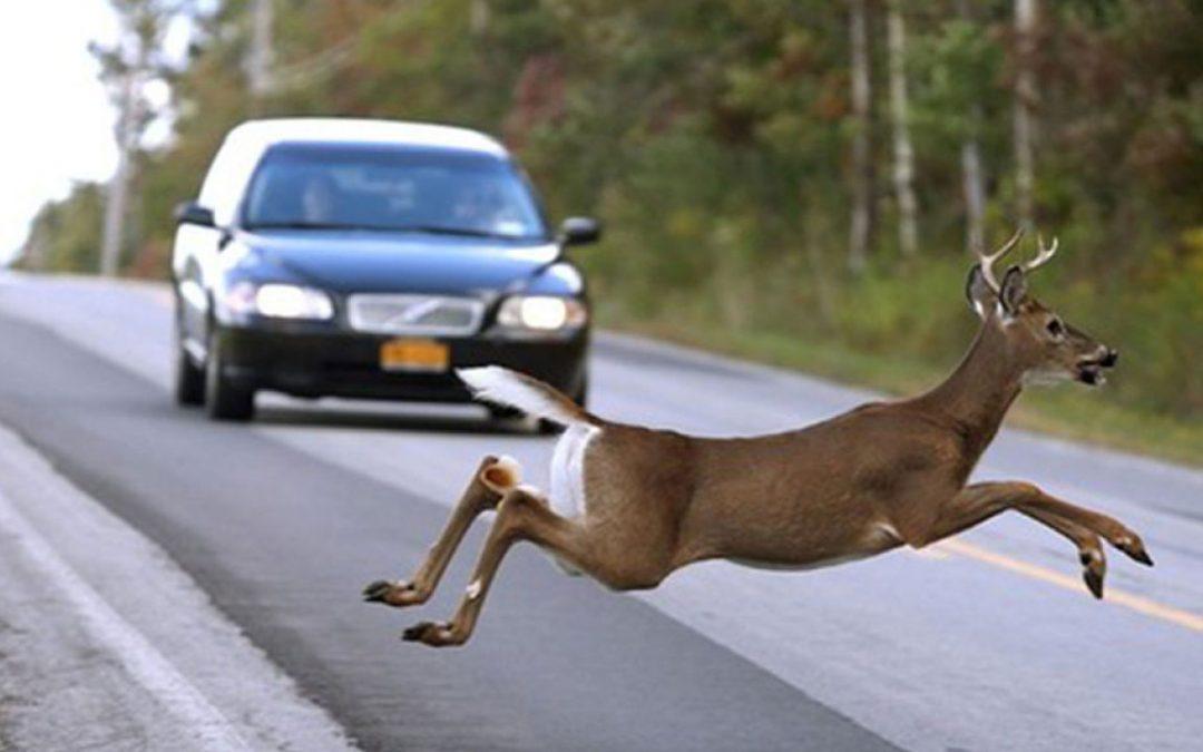 ¿Qué hacer en caso de encontrarse animales en la carretera?